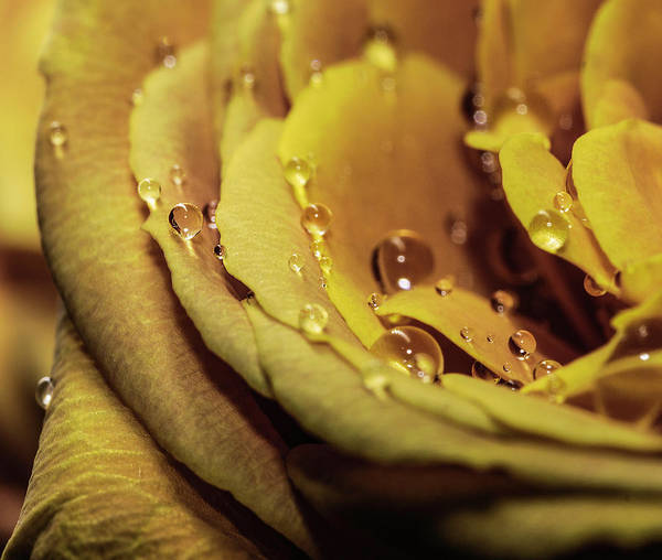 Photograph - Yellow Rose And Drops Macro by Keith Smith