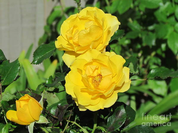 Photograph - Yellow Rose by Joyce Woodhouse