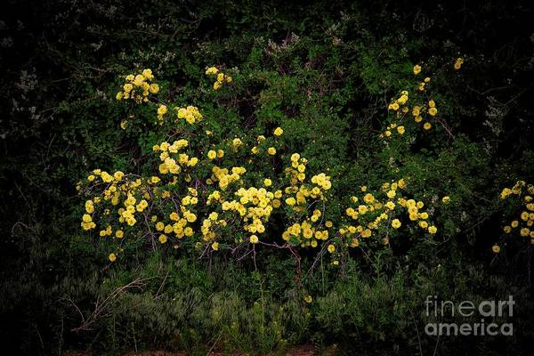 Photograph - Yellow Rose Of Taos by Jon Burch Photography