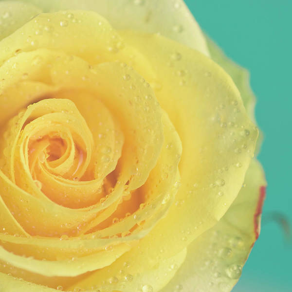 Photograph - Yellow Rose With Dew Drops by Maria Kallin