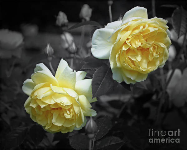 Yellow Roses Partial Color Art Print