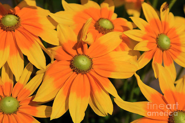 Photograph - Yellow Rudbeckia Flowers Blooming by Jill Lang