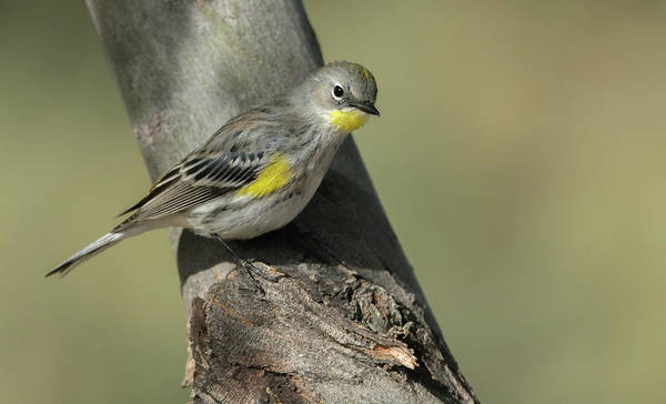 Photograph - Yellow-rumped Warbler 2654-120118-1cr by Tam Ryan