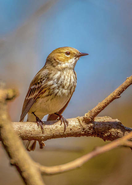Photograph - Yellow-rumped Warbler by Allin Sorenson