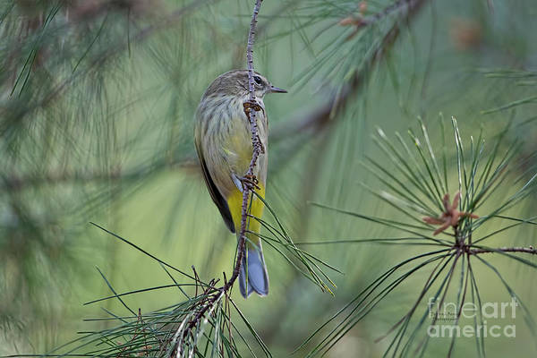 Wall Art - Photograph - Yellow Rumped Warbler by Deborah Benoit