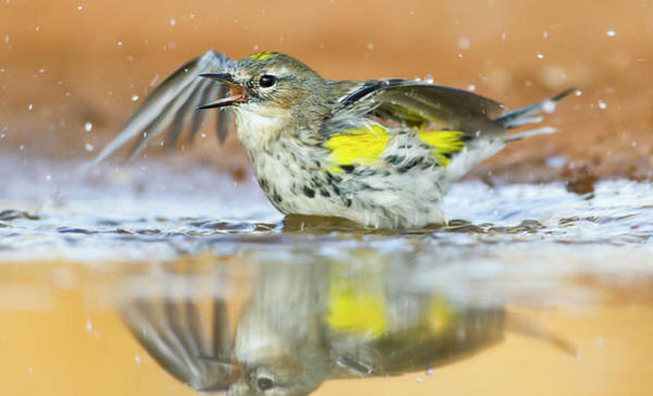 Yellow-rumped Warbler Photograph - Yellow-rumped Warbler Dendroica by Danita Delimont