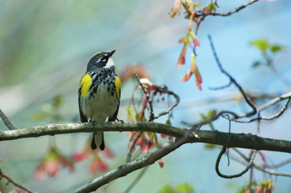 Yellow-rumped Warbler Photograph - Yellow-rumped Warbler In Spring Red by Johann  Schumacher