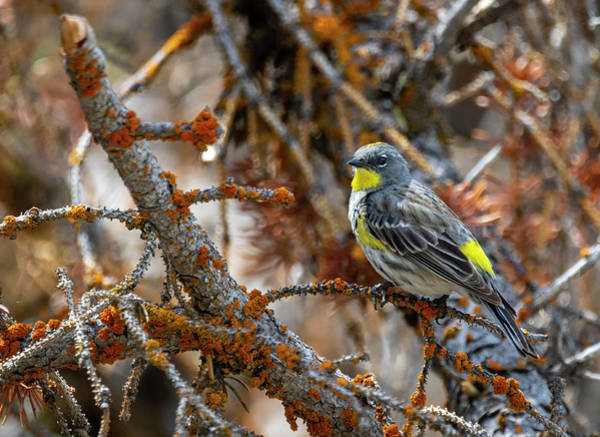 Photograph - Yellow Rumped Warbler by Michael Chatt
