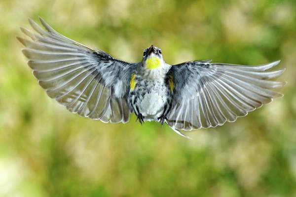 Yellow-rumped Warbler Photograph - Yellow-rumped Warbler by Photography By Thy Bun