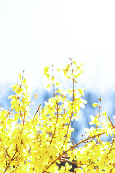 Photograph - Yellow Spring I by Anne Leven