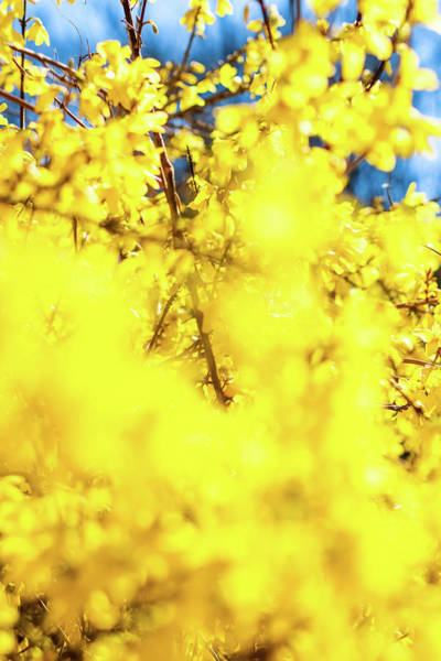 Photograph - Yellow Spring II by Anne Leven