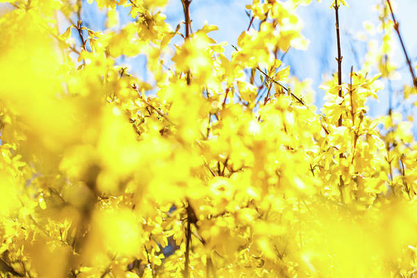 Photograph - Yellow Spring V by Anne Leven