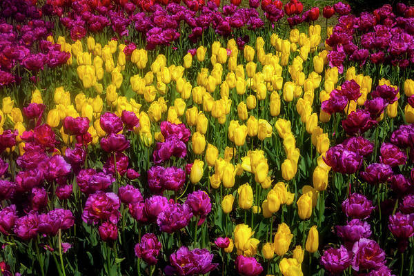 Wall Art - Photograph - Yellow Star Tulips by Garry Gay
