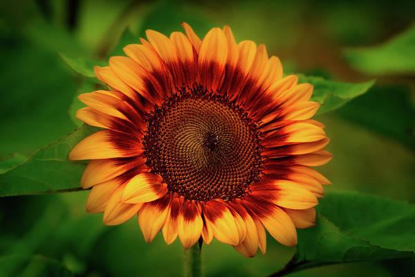 Photograph - Yellow Sunflower #2 by Allin Sorenson