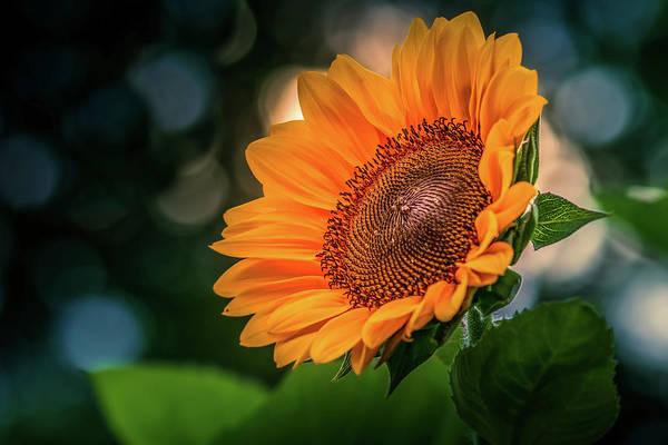 Photograph - Yellow Sunflower #3 by Allin Sorenson