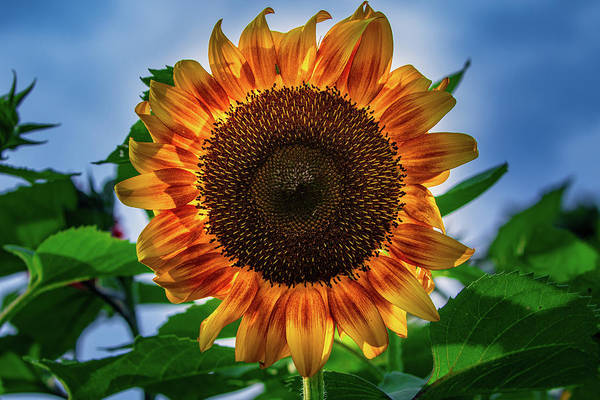 Photograph - Yellow Sunflower by Allin Sorenson