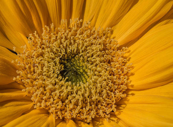 Photograph - Yellow Sunflower Macro by Keith Smith