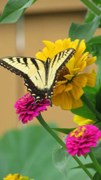 Wall Art - Photograph - Yellow Swallowtail Butterfly Among The Zinnias by Kay Novy