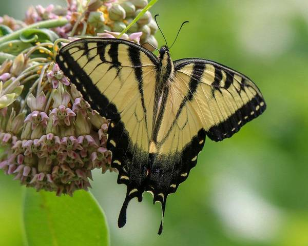 Photograph - Yellow Swallowtail Butterfly by Susan Rydberg