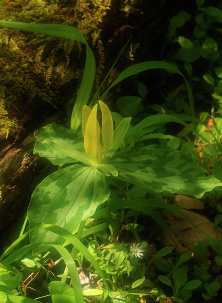 Southern Usa Photograph - Yellow Trillium, Trillium Luteum In by Jerry Whaley