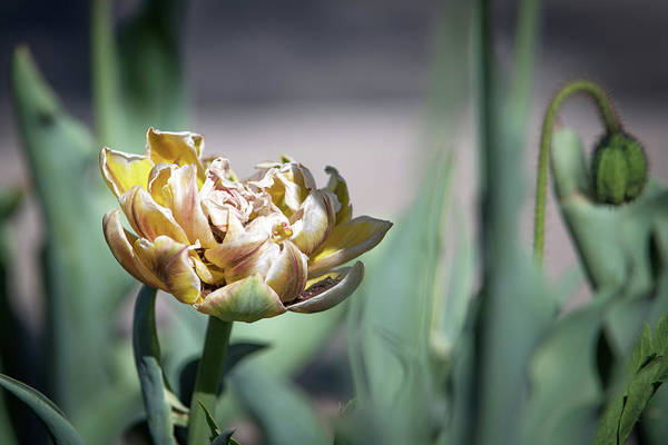 Wall Art - Photograph - Yellow Tulip by Catherine Lau
