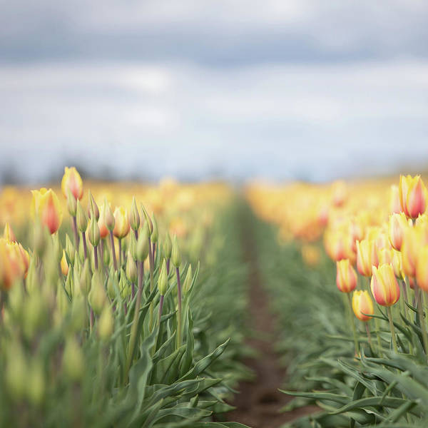 Photograph - Yellow Tulip Field 1 by Rebecca Cozart