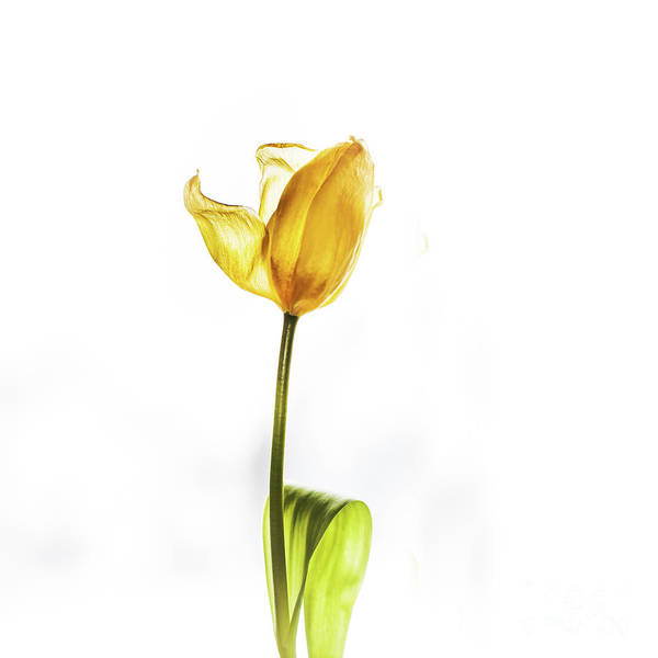 Wall Art - Photograph - Yellow Tulip On White by Flo Photography