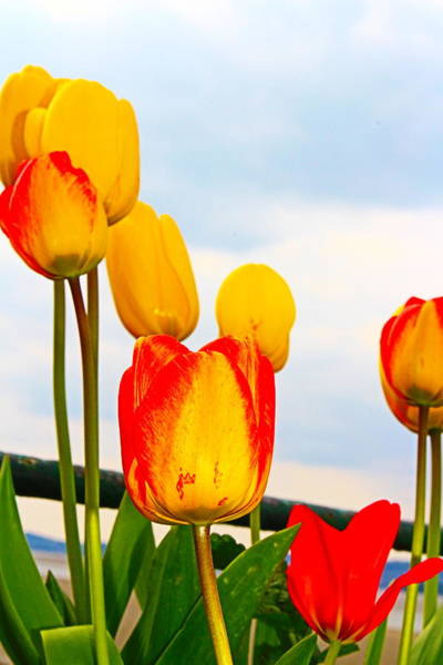 Wall Art - Photograph - Yellow Tulip Show by Loretta S