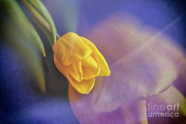 Wall Art - Photograph - Yellow Tulip by Veikko Suikkanen