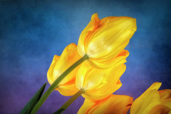 Tulip Flower Photograph - Yellow Tulips On Blue by Tom Mc Nemar