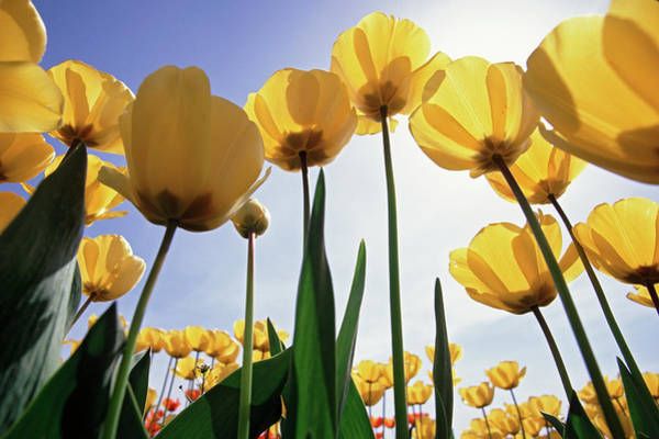 Wall Art - Photograph - Yellow Tulips by Steve Satushek