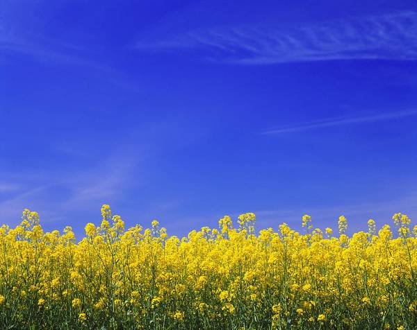 Sunny Photograph - Yellow Vegetation Beneath Blue Sky Of by Pierre Rosberg