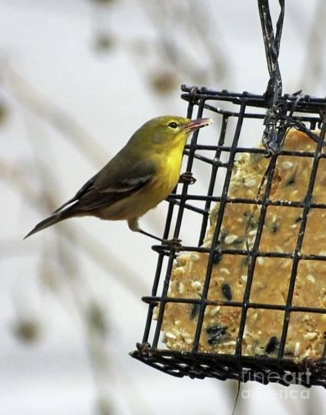 Photograph - Yellow Warbler 15 by Lizi Beard-Ward
