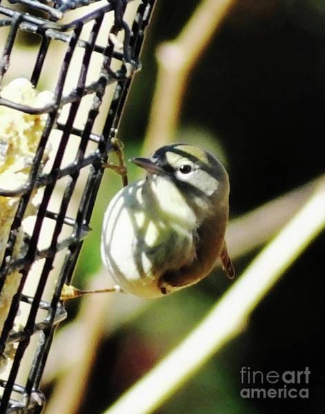Photograph - Yellow Warbler 18 by Lizi Beard-Ward
