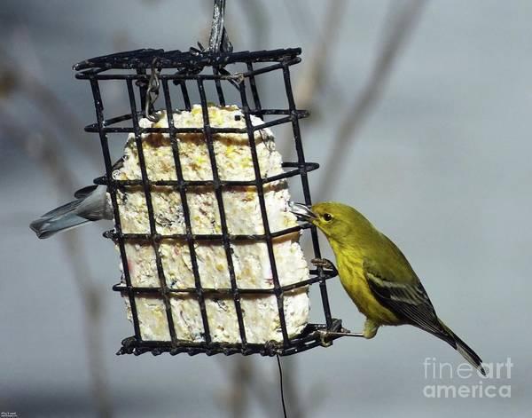 Photograph - Yellow Warbler 20  Male by Lizi Beard-Ward