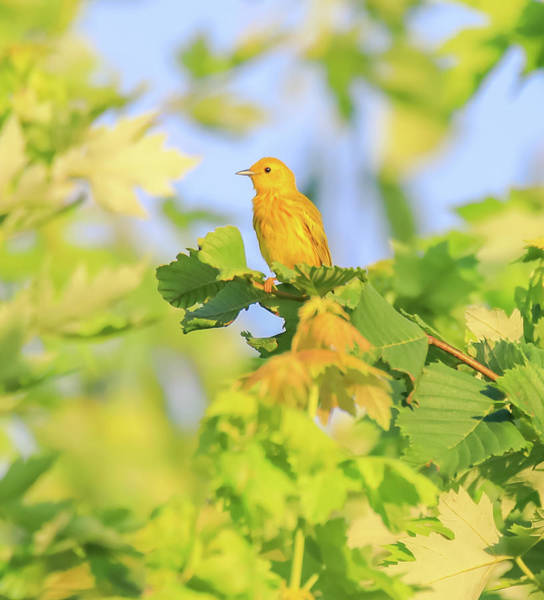 Wall Art - Photograph - Yellow Warbler In Summer by Dan Sproul