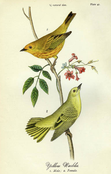 Mixed Media - Yellow Warbler by Unknown
