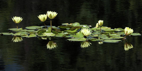 Wall Art - Photograph - Yellow Water Lilies by Catherine Lau