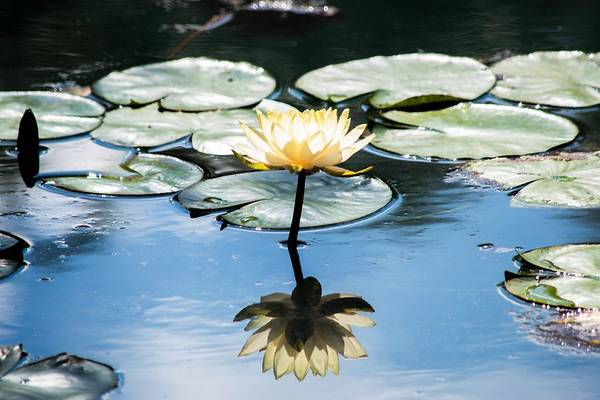 Wall Art - Photograph - Yellow Water Lily Reflection - Gibbs Gardens by Mary Ann Artz