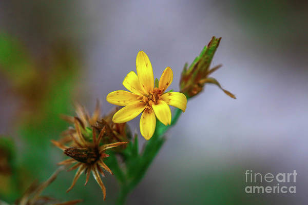 Photograph - Yellow Wildflower by Tom Claud