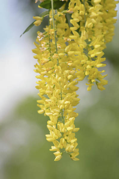 Photograph - Yellow Wisteria by Mark Mille