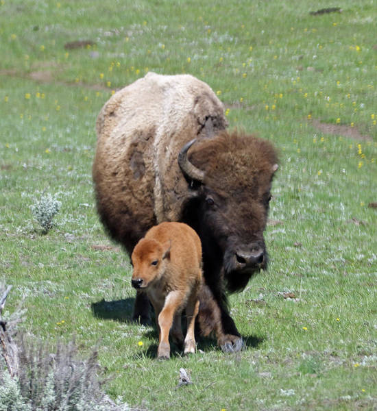 Photograph - Yellowstone Bison And Calf by Jean Clark
