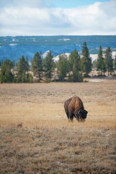 Photograph - Yellowstone Buffalo by Mark Duehmig