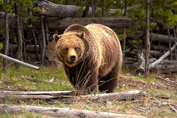 Photograph - Yellowstone Grizzly Among The Logs by Adam Jewell