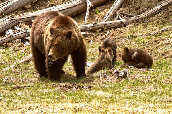 Photograph - Yellowstone Grizzly Bear Family by Adam Jewell