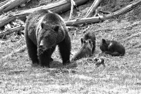 Photograph - Yellowstone Grizzly Bear Family Black And White by Adam Jewell
