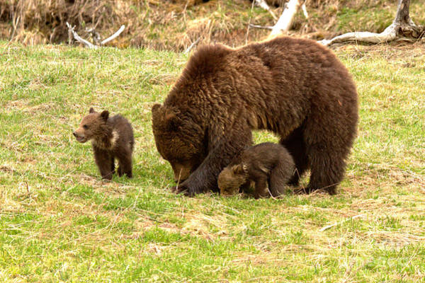 Photograph - Yellowstone Grizzly Bear Triplets by Adam Jewell