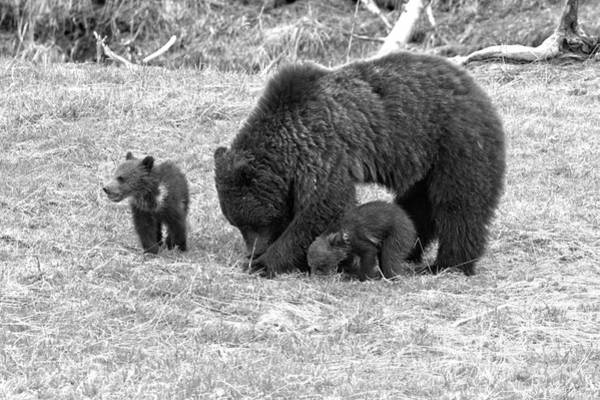 Photograph - Yellowstone Grizzly Bear Triplets Black And White by Adam Jewell