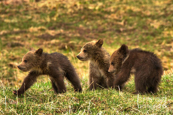 Photograph - Yellowstone Grizzly Trio by Adam Jewell