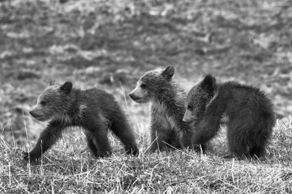 Photograph - Yellowstone Grizzly Trio Black And White by Adam Jewell